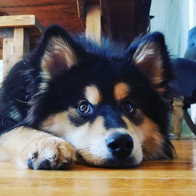 The Finnish Lapphund Is A Hardy Easy Going Medium Size Breed Of Spitz Type Traditionally It Has Dog Breeds Medium Family Dogs Breeds Medium Sized Dogs Breeds