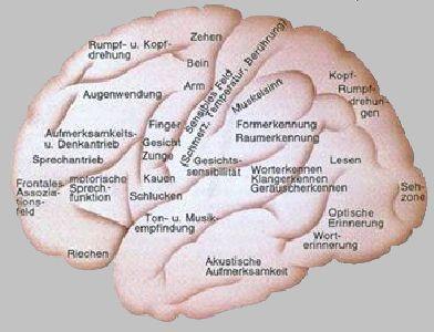 Gehirnregionen Und Funktionen
