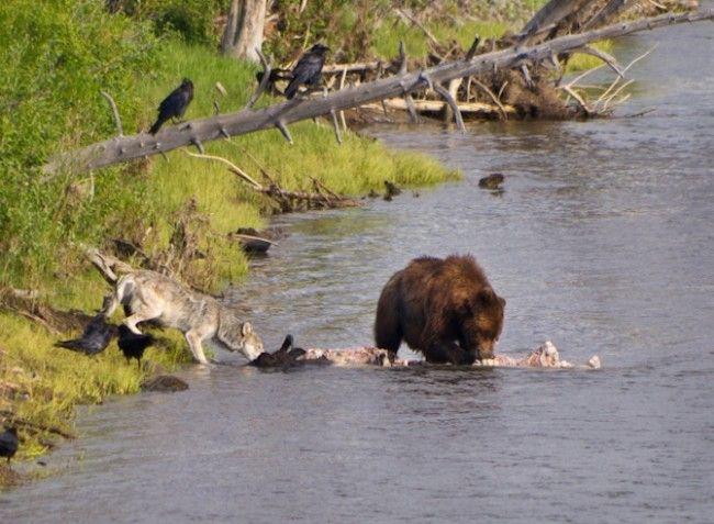 In beeld: wolven in het wild - KnackWeekend.be //- © Thinkstock Een wolf en zwarte beer delen een prooi.