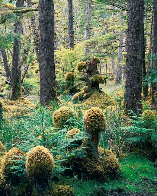 The moss growing on these old tree stumps in Tow Hill Ecological Reserve almost look like a small group of forest dwellers. Queen Charlotte Islands, British Columbia, Canada. Photo ©Copyright by Adam Gibbs.