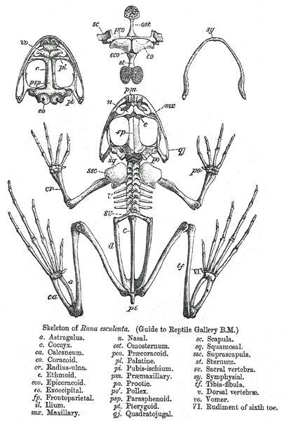File:Rana skeleton.png