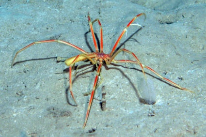 And you thought you would be safe from spiders in the sea. This is a sea spider technically not even an arachnid but still sweet.