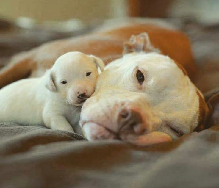 Pit bull and her baby