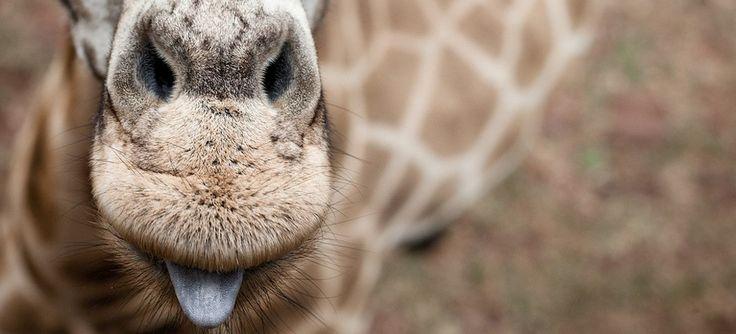 Rothschild Giraffe herd