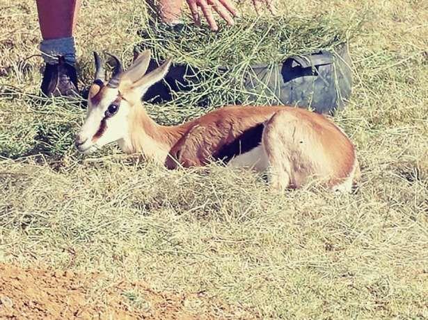 Pragtige springbok ramme te koop. R2700 elk. Randfontein - image 1