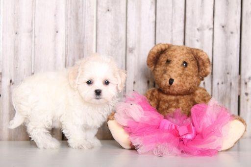 Zuchon puppy for sale in MOUNT VERNON, OH. ADN-59396 on PuppyFinder.com Gender: Female. Age: 8 Weeks Old
