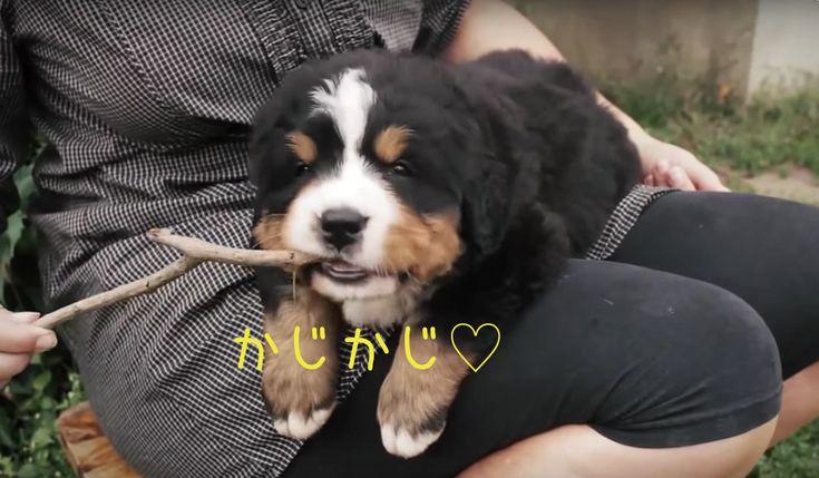 全力可愛い子犬たち疲れた心に可愛いという正義を