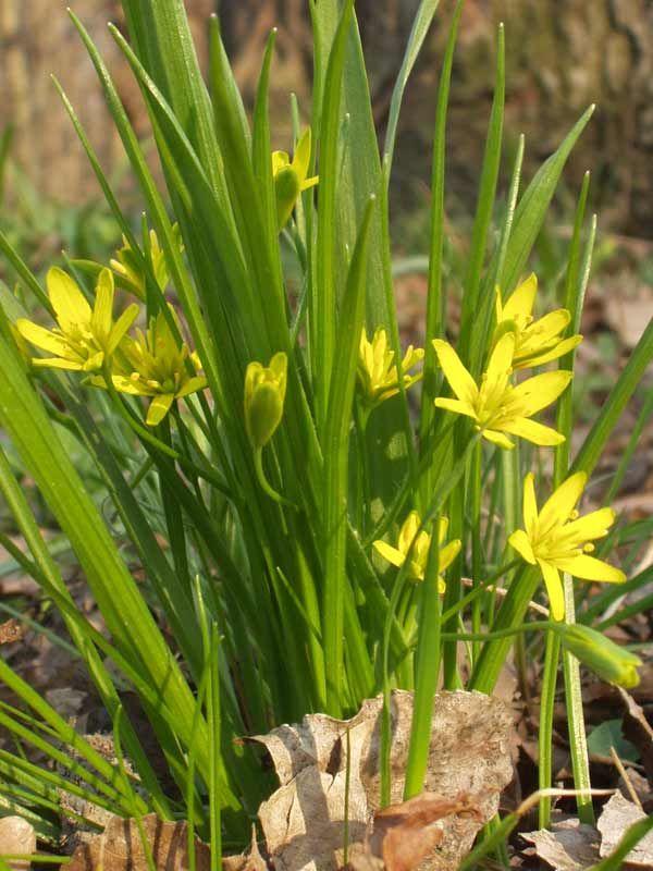 Křivatec žlutý  liliovité  (Liliaceae)