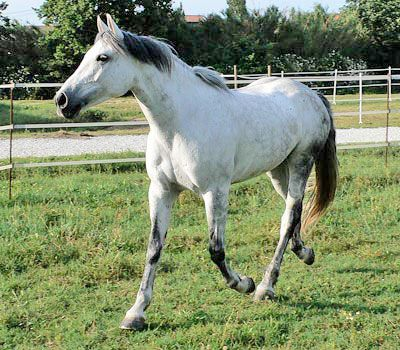 Purosangue Orientale. IL PORTALE DEL CAVALLO - razze equine