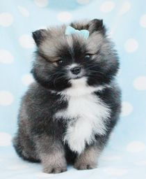 Pomeranian Puppy For Sale at TeaCups