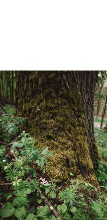 Methusalem Speierling - Als Methusalembäume werden Bäume ab einem Durchmesser von etwa 100 Zentimetern bezeichnet. Sie dürfen ihren Lebensabend in aller Ruhe im Wald verbringen und dienen vielen Arten als Lebensraum.