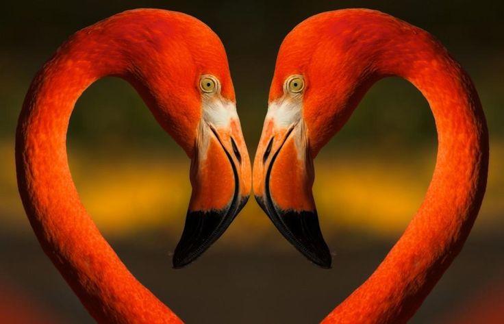 Flamingoliefde