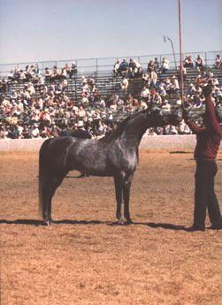 Stallion, Spanish Arabian, Respingo. Zangano X Moreda.