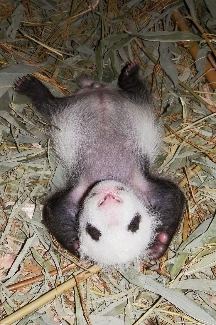 #panda #pandas #cub Little Panda-boy Fu Bao, Zoo Vienna