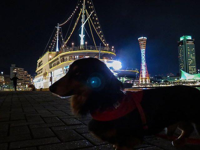 #おーちゃんです(´▽`)#dog#miniaturedachshund #kobe#how_lovely #KOBEHARBORLAND #port_of_kobe #kobe_port_tower#hotelohkurakobe #concerto#MOSAIC#神戸#神戸ハーバーランド#神戸港#夜景#神戸ポートタワー #ホテルオークラ神戸 #コンチェルト#高浜岸壁#ミニチュアダックス#ブラックタン#ふわもこ部#愛犬#ペット#わんこ#可愛い