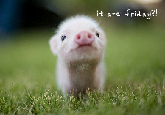 Friday: Animals, So Cute, Pet, Baby Pigs, Baby Animal, Things, Piggy, Piglet