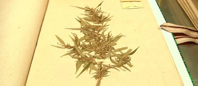 le plus ancien pied de cannabis au monde (herbier du Muséum de Paris) ... Rapportée d'Inde en 1781 par le naturaliste Sonnerat, cette plante dort tranquillement depuis 232 ans dans l'herbier du Muséum de Paris.  #w33daddict #vintage #marijuana #drogues #☠