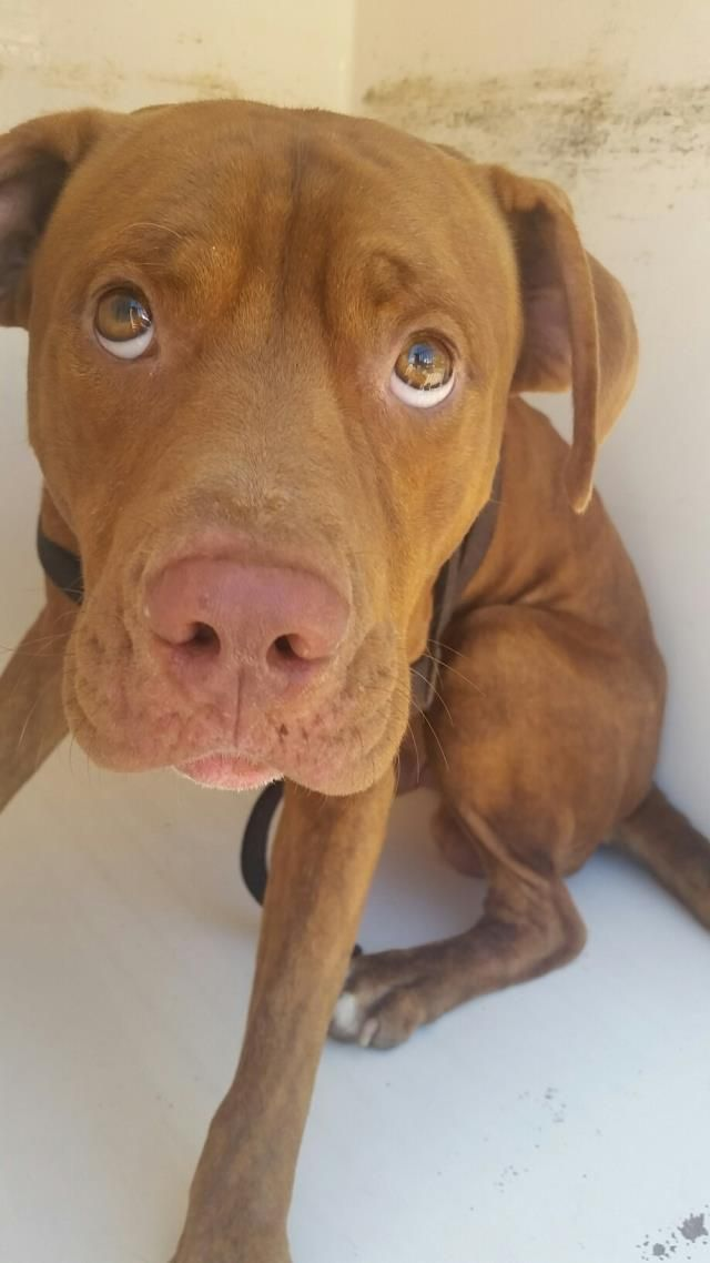 This DOG - ID#A468798 - URGENT - Harris County Animal Shelter in Houston, Texas - ADOPT OR FOSTER - 2 year old Male Pit Bull Terrier - at the shelter since Sep 22, 2016.
