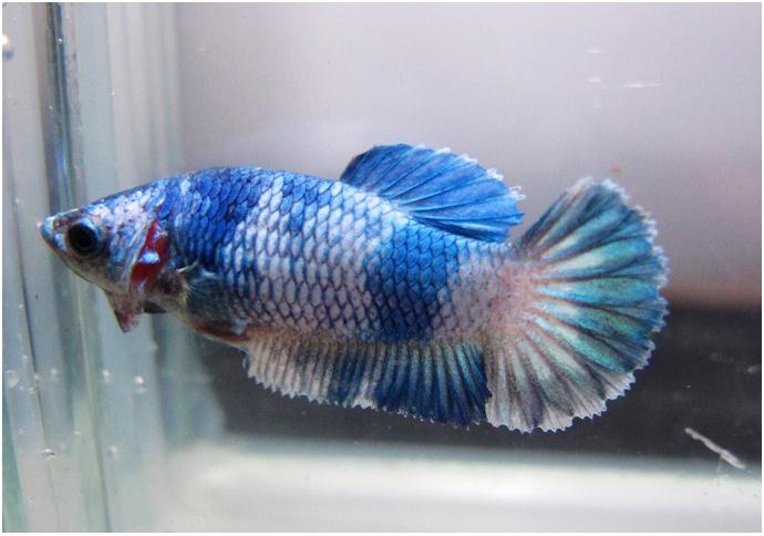 Hmpk female fancy she 39 s so cute betta fish pinterest for Cute betta fish