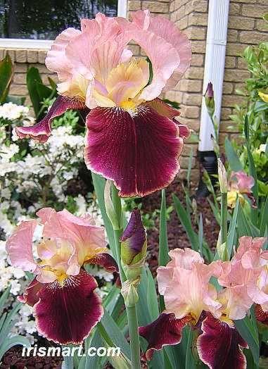 Tall Bearded Iris 'Burgandy Party' (Iris germanica)