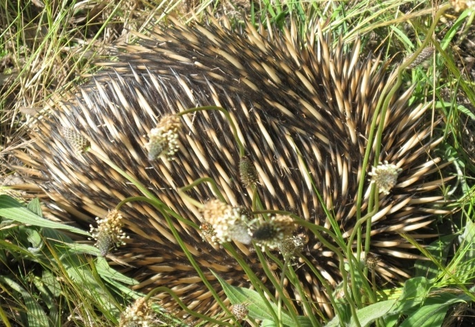 An echidna, Tachyglossus aculeatus, just off the Hume Highway in southern New South Wales.  The feet dig in, and they wait for a predator to go away.  I was the predator who stopped traffic and carried it off the road: not easy, without gauntlets.