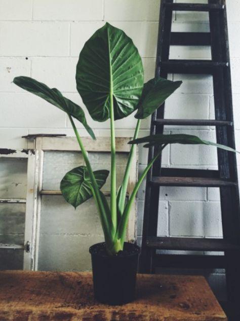 De Alocasia, ook wel Olifantsoor genoemd; terug te herleiden aan zijn enorme bladeren. Deze kan direct op je wishlist. > Veel licht, alleen niet in direct zonlicht plaatsen.> De plant groeit naar het licht toe, dus draai hem regelmatig en voorkom scheefgroei.> Heeft veel water nodig.