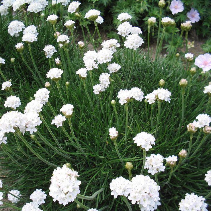 Armeria maritima 'Alba' - Engels gras - Vaste planten | Maréchal