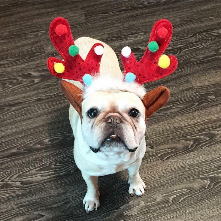 How many more sleeps to Christmas? I hope you've got my present mom!  #reindog #helloplato