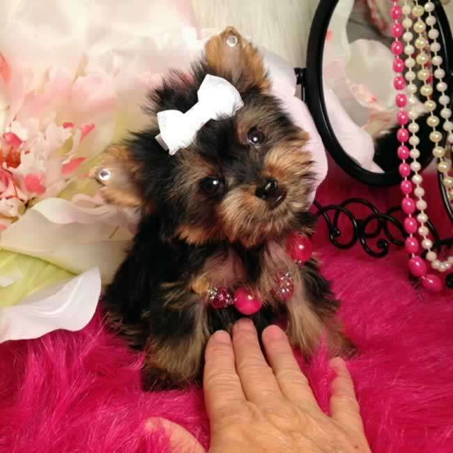Tiny Trisha - Female Teacup Yorkshire Terrier Puppy. She most likely will be around 2.5 - 3.0 lbs. full grown. She is AKC registered, microchipped and comes with a one year health guarantee. To view other teacup Yorkies visit http://www.elvisyorkshireterrier.com/teacup-yorkies-for-sale.php