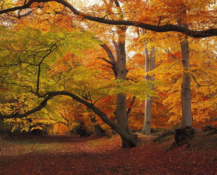 Beechwood in Autumn