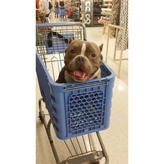 I went shopping for a Pit Bull today❤️