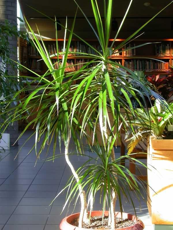Dracaena Marginata Red Edged Dracaena Madagascar Dragon Tree 8