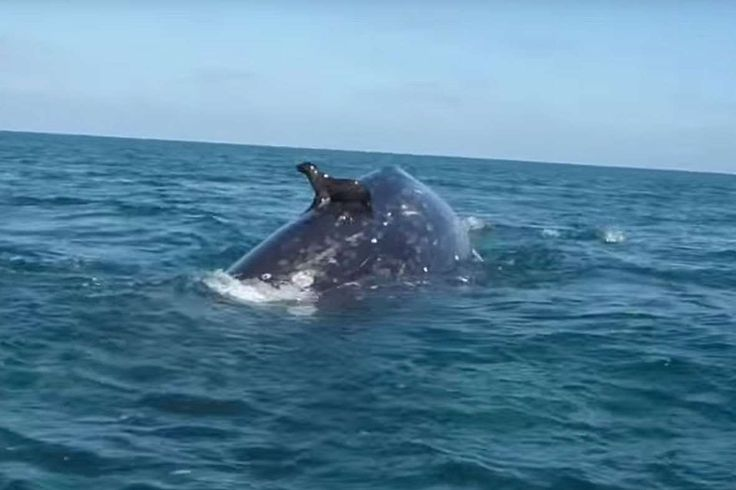 MEANWHILE IN MEXICO, SEA LIONS ARE 'SURFING' ON GRAY WHALES (VIDEO)