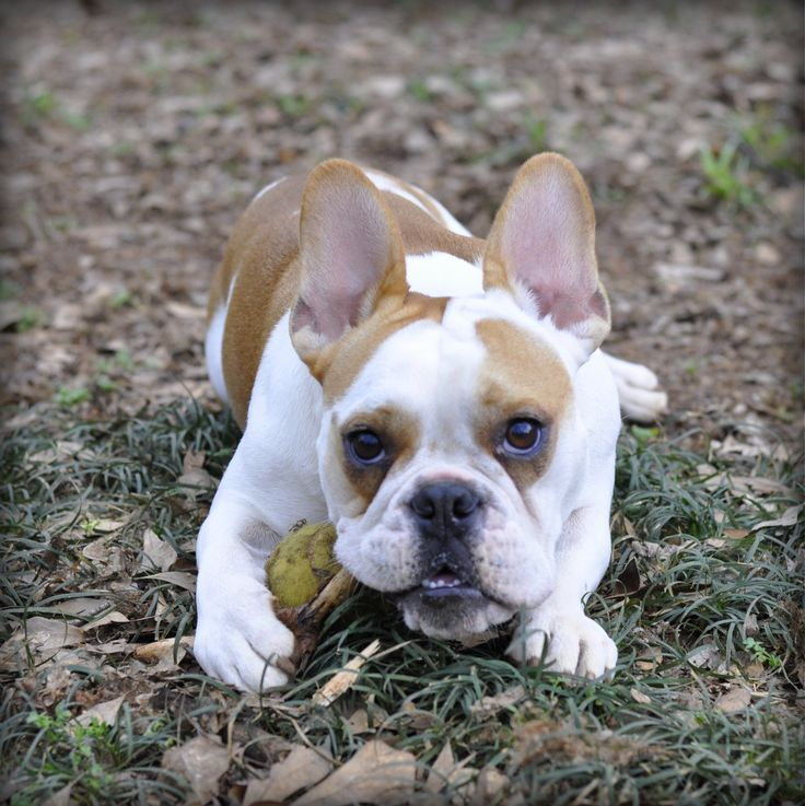 english bulldog chihuahua mix french and english bulldog mix doggos pinterest 8146