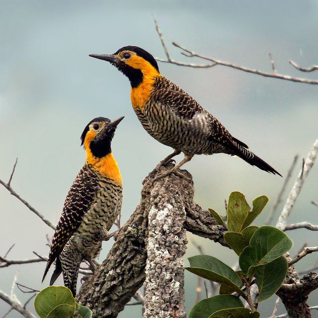 Campo Flicker, Colaptes campestris: a wide range of open/ semi-open habitats in E-BR/ BO/ PY/ UY/ NE-AR, w/isolated populations in Amapá & S-Suriname
