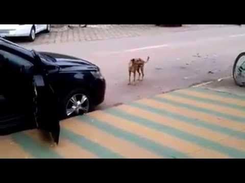 Amazingpandph Dog Walks By Parked Car