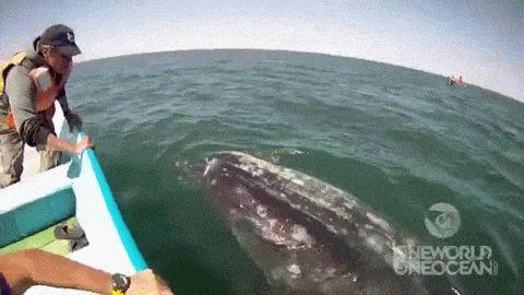 Un barco de observación de ballenas fue hacia el mar en las aguas de la Laguna de San Ignacio, México.