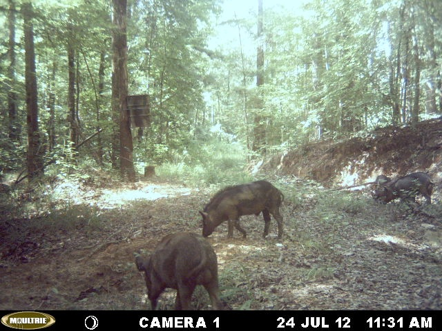 The Black Belt area of Alabama has long been a great hunting ground for White Tail Deer and Wild Turkey but mixing it up with a wild hog hunt can be very exciting. http://ithappensinalabama.com/hunting-fishing/