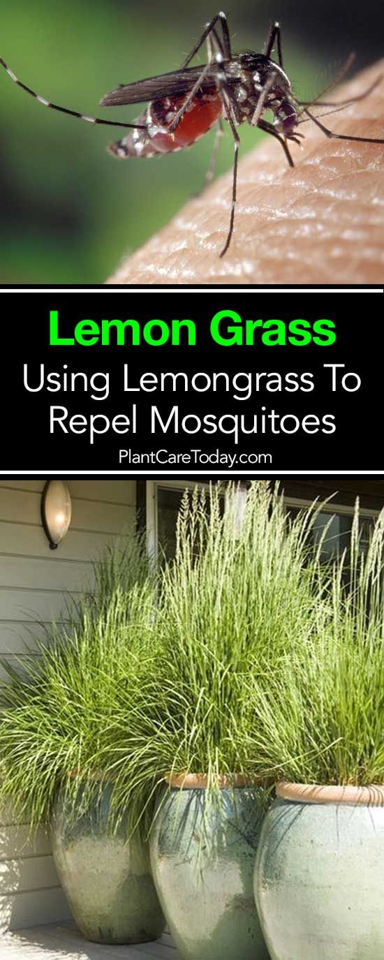 research paper of lemon grass as a mosquito repellent Lemon grass this plant prefers a lush, tropical climate so if you live in the south try growing fragrant lemon grass, also known as citronella grass, in your back yard it smells divine, especially after a fresh rainfall catnip not an herb for cat-haters as you could get unwanted feline attention in your backyard cats love to nibble on it.