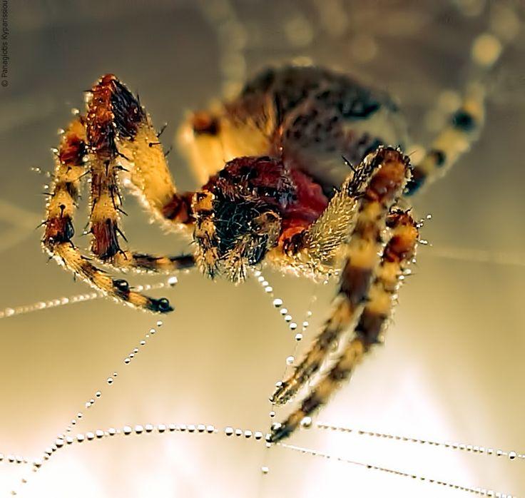 Photo Spider by Panagiotis kyparissiou on 500px