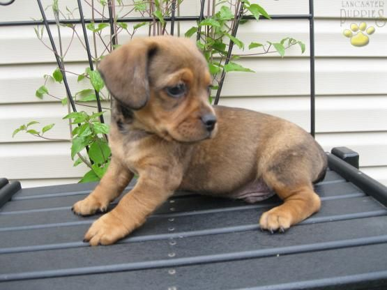 Travis - Jug/Dachshund Puppy for Sale in Robesonia, PA   Lancaster Puppies