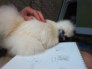 Sketching our pet silkie chicken