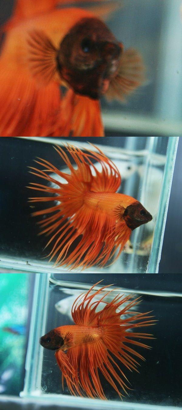 892 best Betta images on Pinterest | Fish aquariums, Fish tanks and ...