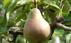 Mit lagerfähigen Birnensorten können Sie den Genuss nach der Ernte bis in den Winter verlängern. Neue Sorten passen sogar in kleine Gärten und gedeihen auch am Spalier.