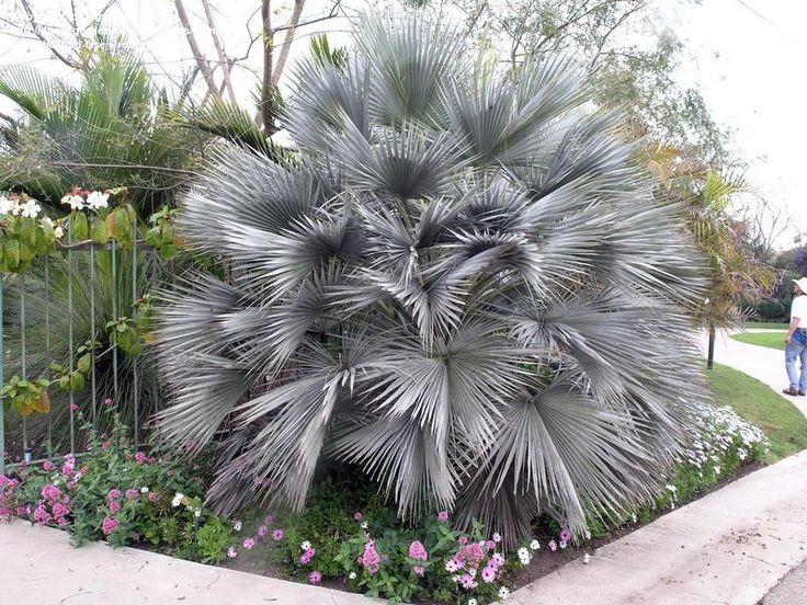 Mexican Blue Palm, Blue Hesper Palm, Gray Goddess (Brahea armata)