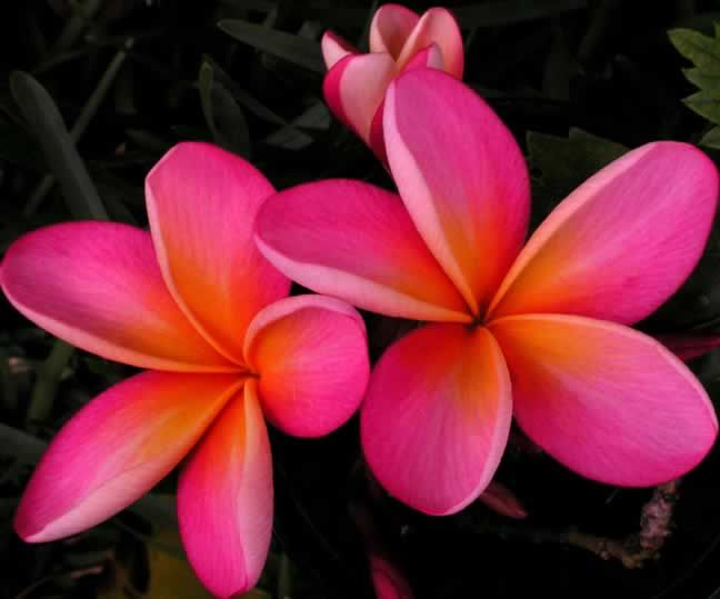 Best 29 flowers ideas on pinterest flower arrangements wedding hawaiian flowers and a variety of plumeria the most fragrant of all the flowers mightylinksfo