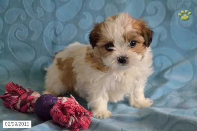 Shichon Puppy for Sale in Ohio  http://www.buckeyepuppies.com/puppy-for-sale/shichon/lily-0