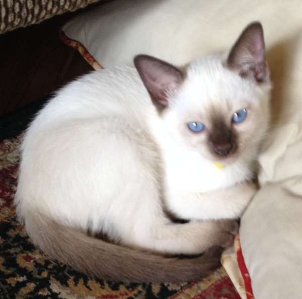Pin On Siamese Kittens