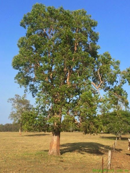 swamp box Lophostemon suaveolens fast growing eucalypt-like tree with graceful branch form; open canopy; frequent flowering periods