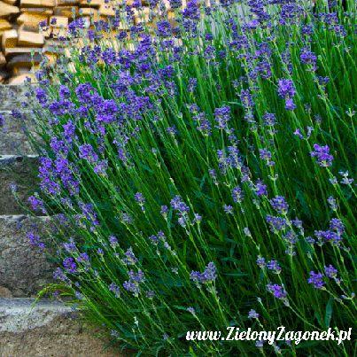 Zielony Zagonek » Olejek lawendowy - naturalny lek na wszystko